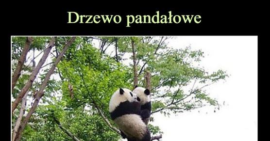 Drzewo Panda-łowe