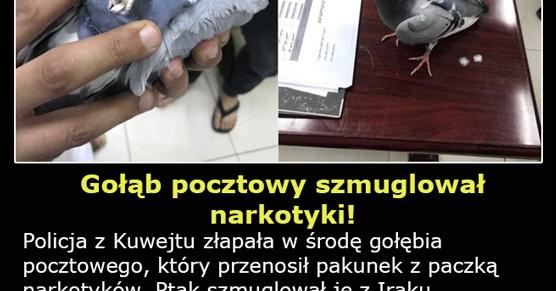 Gołąb pocztowy szmuglował narkotyki
