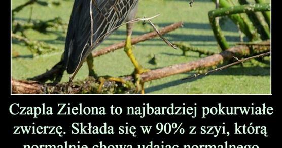 Czapla Zielona to najbardziej pokurwiałe zwierzę na świecie